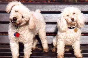 Vinny and Coco our two poodles