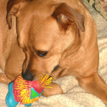 Angel the dog and her toy Itt